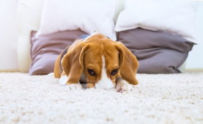 Keeping Your Carpet Clean When You Have Pets At Home