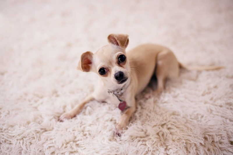 dog on a clean carpet in a London house