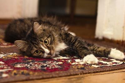 cat on a carpet